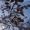 11月20日(火)千手院の四季桜