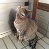 「外に出たいなあ、鍵が閉まっている、うーむ、がっかり」と うちの猫ちゃん