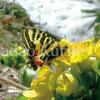 【特集】ギフチョウの里 「第4回 / ギフチョウ探訪:北海道のエゾヒメギフチョウは、なぜ黄色い花を好むのか!?」