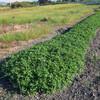 長畝のジャンボ落花生の生育状況