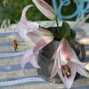 終る花始まる花・・・ユリ、オオボウシバナ、カライトソウ、クロコスミア