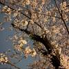 花見はしたいけど、夜桜の写真だけでも充分🌸