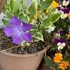 ツルニチニチソウの開花