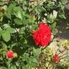 ♪綺麗だね〜 薔薇は綺麗だねぇぇ〜