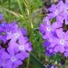 シュッコン バーベナ 『 紫紅色の花 』