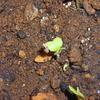 ベビーリーフの種が発芽す