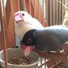 鳥と生活 / 人間の事情と鳥の事情 其の参 -文鳥の事情-
