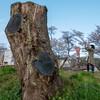 木次、土手の桜