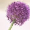 紫葱坊主「アリウムギガンチウム」育成記録