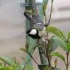 「雀(sparrow)」と見紛った、「四十雀(great tit)」と「河原鶸(oriental greenfinchi)」