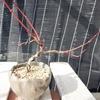植え替えから2カ月後の盆栽(一部)の話