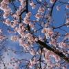 「初美人」椿寒桜