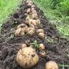 """畑からこんにちは!😃 210717   """"ジャガイモの収穫!🥔"""""""