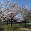 なまず池公園の桜と馬の耳に念仏