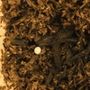 カブトムシの飼育【卵を産みました!!】卵の管理と幼虫を育てる準備の方法