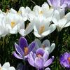 花言葉を花の名前のアイウエオ順で並べてみました!