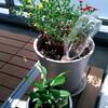 経過観察、ベランダの植物たち。から、実家の庭の思い出話。