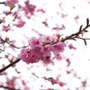 近所に桜を探しに行ってみた(カメラ)