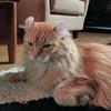 かわいい猫くんを夏の暑さに負けてサマーカット、ライオン風にしたらどうなった?