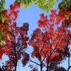 空を覆う紅葉