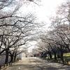 八条ヶ池の夜桜