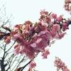 【桜便り】代々木公園の河津桜