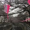 【速報】目黒川の桜 開花状況【2018年3月19日】