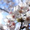 桜を綺麗に撮るための3つのポイント