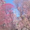 2021年!香梅園(小村井香取神社)の現在の開花状況と今年の見ごろは?【墨田区】