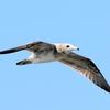 快晴の空を飛ぶウミネコ