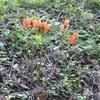 キツネノカミソリ  葉は自分の花を知りません。