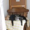 イクメン猫ダイちゃん、聖母になる。