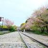 【週末京都】桜鶴苑にて春爛漫のお花見弁当🌸