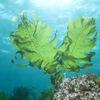 ワカメ4 「藻類は体にいい」と何となく思っていますが,日本食品成分表を見る限り,ヨウ素以外,特に目立つ栄養素はありません.ワカメを含め海藻を食べる日本人には,欧米で一般的になっている「ヨウ素添加塩」は必要ありません.食物繊維もかなり含まれますが,数字として「特に目立つ量」ではありません.ただし,その質が陸生生物と異なるため,様々な機能を持つのではないかと研究が続けられています.