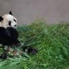 生まれ変わったらパンダになりたい!癒されるパンダの写真まとめ~和歌山白浜アドベンチャーワールド編