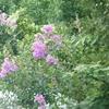 サルスベリは紫の花も咲くのですね。!!