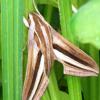 クロアゲハの幼虫ではなく、蛾の幼虫だった。