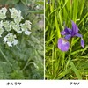 """直近に咲いたのはオルレア(オルラヤ)とアヤメ.今,真っ盛りなのがムギセンノウ(麦仙翁 アグロステンマ).シャクヤク,ナデシコ----.5月初旬は花一杯の季節.道ばた,社寺の庭の片隅にも,""""雑草""""たちが懸命に花を咲かせています."""