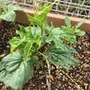 家庭菜園 枝豆が発芽した