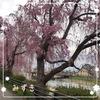 おばちゃん地方の桜 Version5