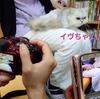 緊急!里親様募集part6【チンチラペルシャ猫】※決定致しました!
