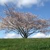満開の桜の中、新型コロナのワクチン接種が着々と進められています。