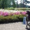 桜からツツジへ 🌸 季節の移ろいが、色鮮やかで イイねぇ ⛳ ブログ