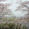 南足柄市 大口の桜&大雄町花咲く里山の桜が見頃です