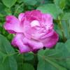薔薇が咲いた〜。。。
