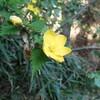 あいかわ公園 山野草図鑑 春 黄色の花