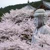 奈良県のおすすめ桜スポット。桜大仏の壷阪寺とか樹齢300年のしだれ桜又兵衛桜とか飛鳥川とか。