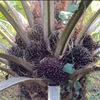 パーム椰子(油ヤシ)