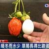 今年の台湾イチゴは卵より大きく、甘くて大変出来が良い。温度差が激しかったため、糖度が高い
