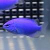 【アクアリウム】コバルトスズメ特集 海水魚